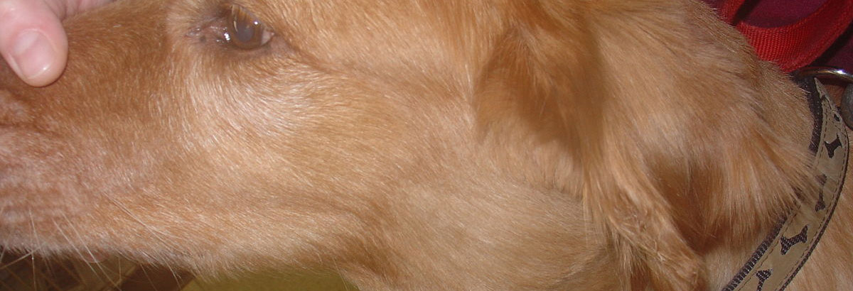 3 Reasons Why Your Dog's Face is Swollen on One Side