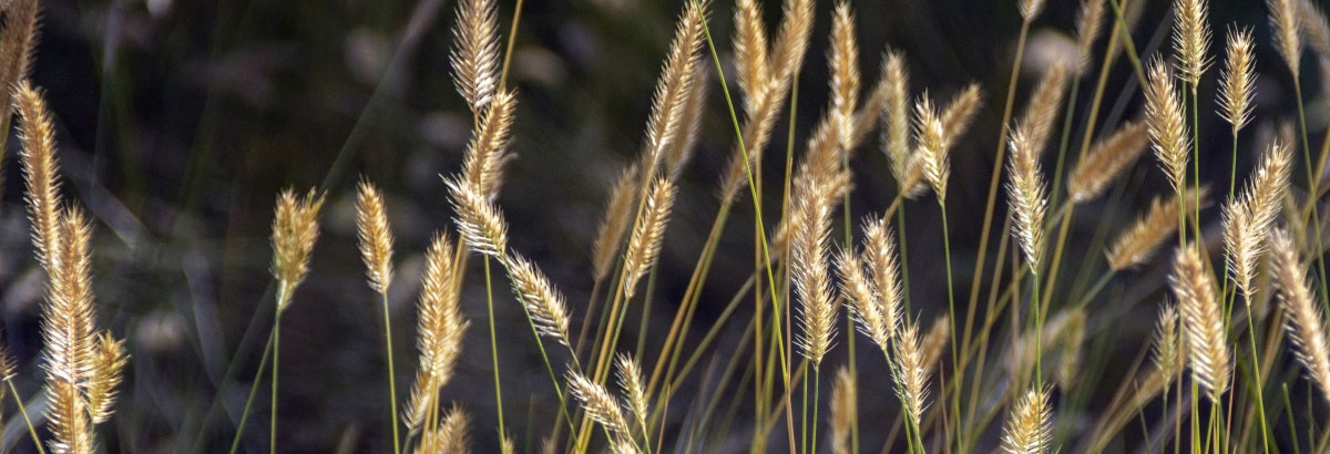 Foxtail Dangers for Dogs