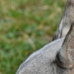 Simple Home Remedies for Dogs with Ear Yeast Infection